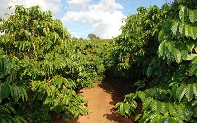 Tạo rễ mới cho cây cà phê già