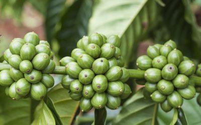 Trẻ hóa vườn cà phê bằng thuốc điều hòa sinh trưởng RIC 10WP