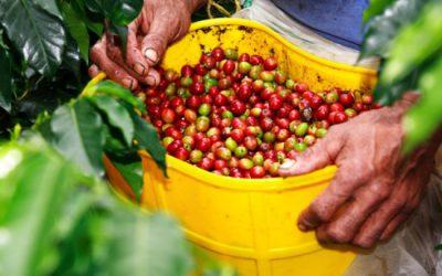 Sản lượng cà phê Việt Nam dự báo xuống thấp nhất 4 năm qua