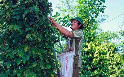 Lâm Đồng: Trồng tiêu hữu cơ bền vững cho thu nhập cao