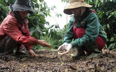 Tình trạng rụng trái cà phê vào mùa mưa – Nguyên nhân và biện pháp khắc phục